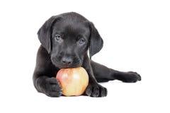 Labradorvalp med ett äpple royaltyfria foton