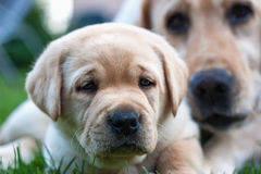 Labradorvalp och hans mamma Royaltyfri Fotografi