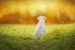 Labradorvalp på äng vid solnedgång med tecknad filmblick Royaltyfri Bild