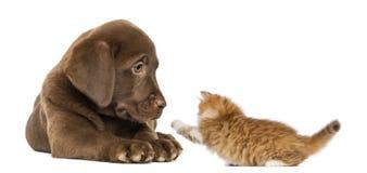 Labradorvalp som ligger och ser en skämtsam kattunge Arkivfoto