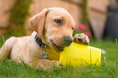 Labradorvalp som tuggar leksaken i trädgård Arkivfoton