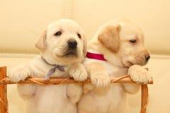 Labradorvalpar Fotografering för Bildbyråer