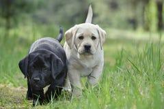 Labradorvalpar i trädgård Arkivfoto