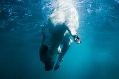 Labradorvalpen i simninghavet har gyckel - dog hoppar och dyker undervattens- för att hämta skalet Utbildning och aktiva lekar me royaltyfri fotografi