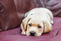 Labradorvalpen med ledsna ögon lägger på soffan Arkivfoton