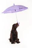 Labradorvalpen rymmer ett paraply i hans mun på vita lodisar Royaltyfri Foto