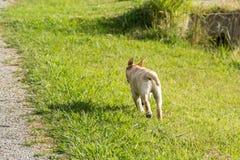 Labradorvalpkörningar bort med öron upp Arkivbilder