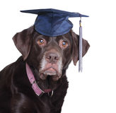 labradro猎犬 免版税库存图片
