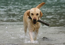 Labradror Retriever Retrieving. Labrador retriever retrieving the stick in its natural environment Stock Photos