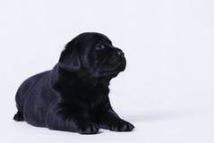 Labraor retriever puppy. Black labrador retriever puppy portrait Stock Images