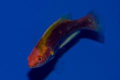 Labro comune multicolore del fatato del ` s di Lubbock Fotografie Stock
