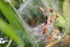 labrynth蜘蛛 免版税库存图片