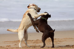 Labs on the beach. Brown and cream labrador playing on the beach Stock Image