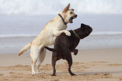 Labs on the beach. Brown and cream labrador playing on the beach Royalty Free Stock Photography