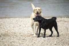 Labs. These labs belong to my son.  We were on the Bitteroot River in Montana and they were playing in the water Stock Images