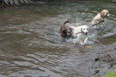 Labs playing in the water Royalty Free Stock Photo