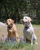 Labs in the wildflowers Stock Photos