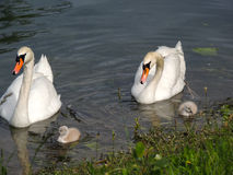 Labudi & mladunci / Swans with baby swans Royalty Free Stock Image