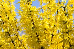 Laburno Anagyroides - chuva dourada Fotos de Stock Royalty Free