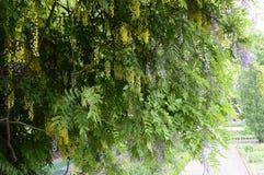 laburno comum ou chuva dourada de corrente ou dourada Imagens de Stock Royalty Free