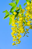 Laburnum Stock Photo