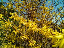 laburnum fotos de stock