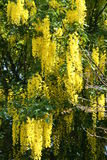 Laburnum anagyroides Royalty-vrije Stock Foto