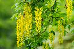 Laburnum Royalty Free Stock Photography