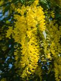 Laburnum anagyroides or golden rain plant Royalty Free Stock Photo