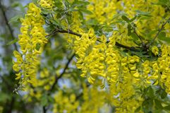 Free Laburnum Anagyroides Ornamental Yellow Shrub Branches In Bloom Against Blue Sky, Flowering Small Tree Royalty Free Stock Image - 164334336
