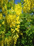 Laburnum Anagyroides, Pea Family Royalty Free Stock Images