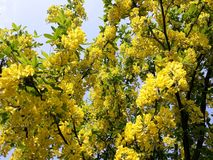 Branches with yellow flowers of Laburnum Anagyroides tree Golden Chain or Golden Rain against blue sky. Laburnum anagyroides, is a species in the subfamily stock photos
