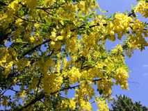 Branches with yellow flowers of Laburnum Anagyroides tree Golden Chain or Golden Rain against blue sky. Laburnum anagyroides, is a species in the subfamily royalty free stock photography