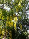 Branches with yellow flowers of Laburnum Anagyroides tree Golden Chain or Golden Rain. Laburnum anagyroides, is a species in the subfamily Faboideae. The plant royalty free stock photo