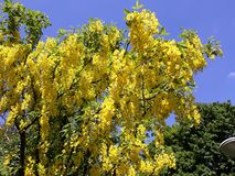 Branches with yellow flowers of Laburnum Anagyroides tree Golden Chain or Golden Rain against blue sky. Laburnum anagyroides, is a species in the subfamily stock image