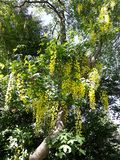 Branches with yellow flowers of Laburnum Anagyroides tree Golden Chain or Golden Rain. Laburnum anagyroides, is a species in the subfamily Faboideae. The plant royalty free stock photos