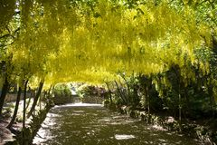 Laburnum Arch Royalty Free Stock Photo