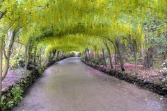 Laburnum Arch in full bloom Royalty Free Stock Photo