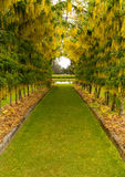 Laburnum Arch in full bloom over grass path Stock Photo
