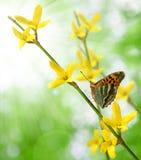 Laburnum con la farfalla Fotografie Stock Libere da Diritti