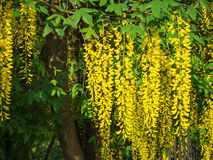 Laburnum Royalty Free Stock Photo