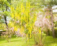 Laburnum and tamarix. Two plants, yellow - latin name Laburnum anagyroides, called as Golden shower tree and Golden chain, and pink - latin name Tamarix, in Royalty Free Stock Photos
