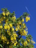 Laburnum tree. The blue sky and the yellow flowers complement each other, the jet in the background just added sometinhg special to the picture Royalty Free Stock Image