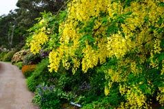 Laburnum tree Stock Images