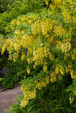 Laburnum tree Stock Photos