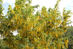 laburnum tree also called golden chain or golden rain Royalty Free Stock Photography