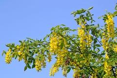 Laburnum tree blooming Stock Photo