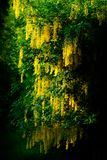 Laburnum Tree on Dark Background Stock Photos
