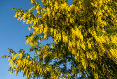 Laburnum Tree Stock Images