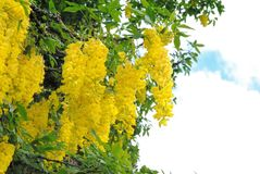 Laburnum vulgare is in full bloom. 